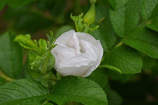 Rose In The Rain, Rose, Rain, Flower, Blossom, Bloom