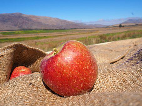 South Africa, Ceres, Apple, Harvest, Nature, Still Life