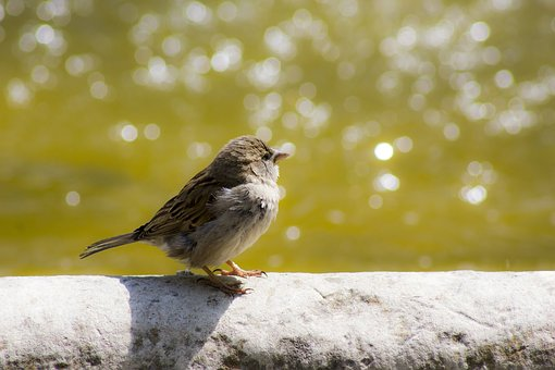 Sparrow, Bird, Ave, Urban Wildlife, Source, Water