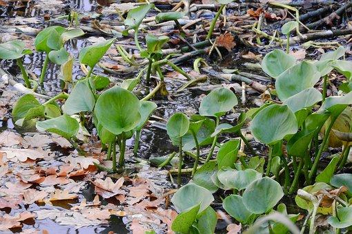 Calla Lilies, Calla Palustris, Water-plant