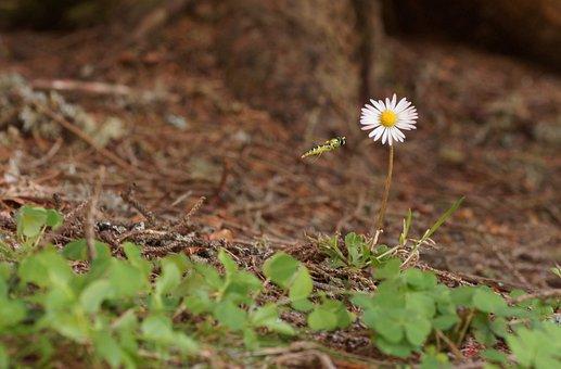 Gänsblümchen, Flower, Meadow, Wild Flower, Spring