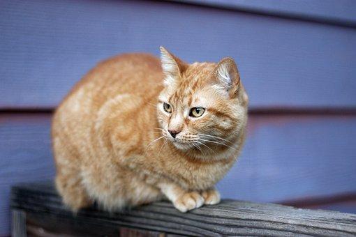 Orange Tabby, Cat, Fence, Outdoor, Animal, Cute, Pet