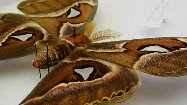 Attacus Atlas, Martinac, Butterfly, Saturnidae