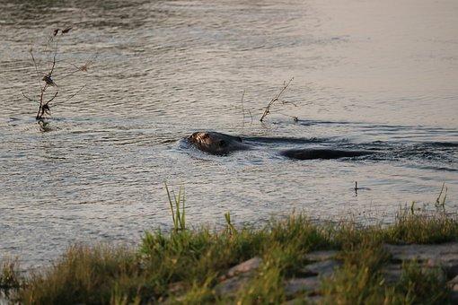 Beaver, River, Water, Morning, Mammal, Swim, Fur