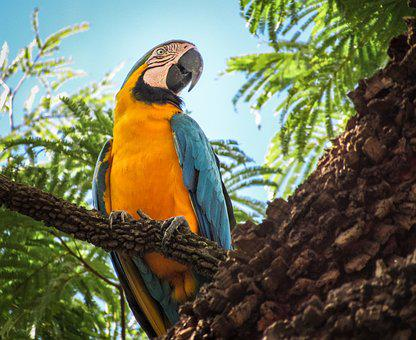 Arara Canindé, Blue And Yellow Macaw, Parrot