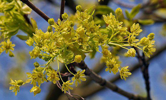 Maple Flowers, Tree, Branch, Blossom Branches