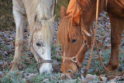 Horses, Mares, Horse, White, Brown, Animals, Nature