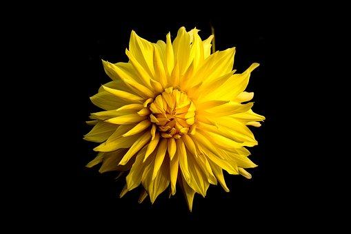 Dahlia, Flower, Yellow, Black Background, Nature
