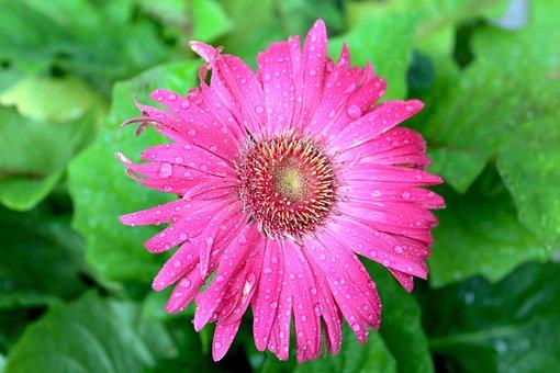 Pink Gerber Daisy, Daisy, Pink, Gerber, Flower, Blossom
