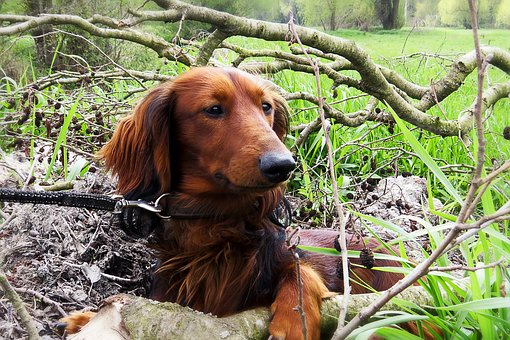 Dog, Dachshund, Dachshund Dog, Hunting, Nature
