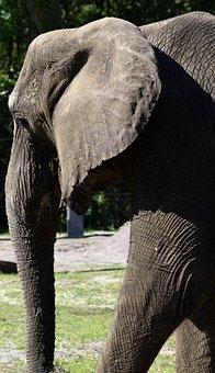 Elephant, Safari, Africa, Large, Mammal, Animal Reserve