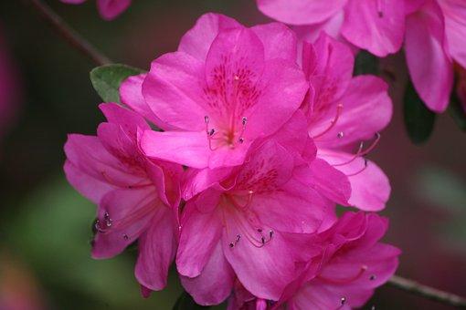 Azalea, Pink, Bush, Spring, Summer, Nature, Flower