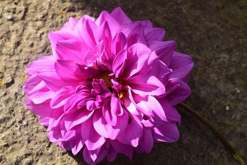 Gardenia, Flower, Garden
