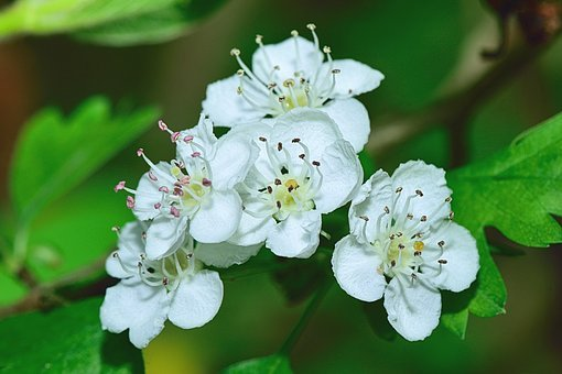 Nature, Flower, Flowers, Plants, Garden, Macro, White
