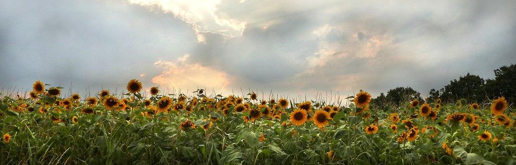 Sunflower, Flower, Helianthus Annuus, Sunflower Field