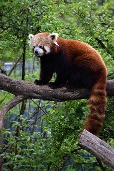 Red Panda, Vienna, Zoo, Tree, Rare, Leafs, Sitting