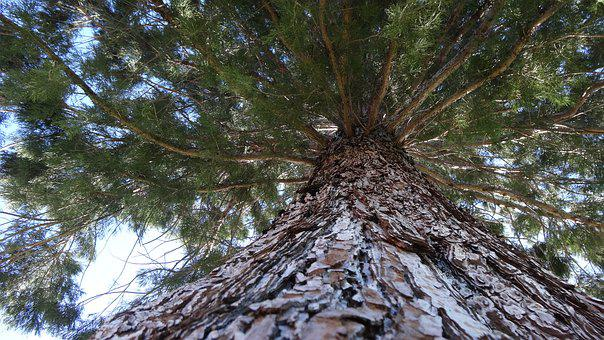 Vertical Perspective, Pine Tree, Looking Upward