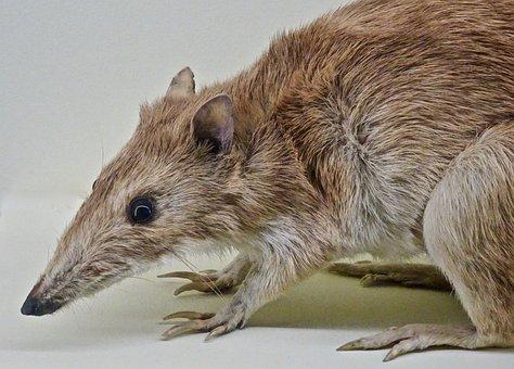 Bandicoot, Marsupial, Australia, Wildlife, Cute, Native