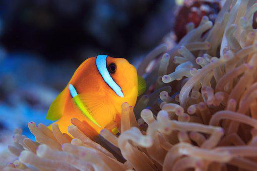 Clown Fish, Nemo, Water, Sea Animal, Meeresbewohner