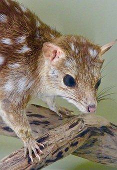 Bandicoot, Cute, Australia, Marsupial, Wildlife, Native