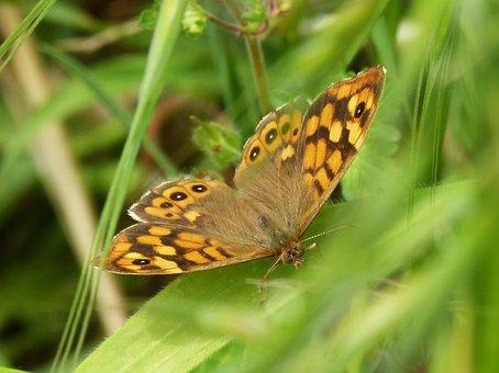 Orange Butterfly, Bruna Bosc, Pararge Aegeria
