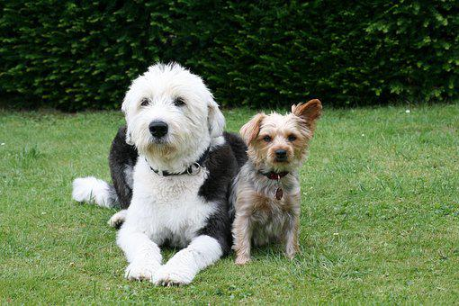 Dogs, Animal, Pet, Yorkshire Terrier, Animal Picture