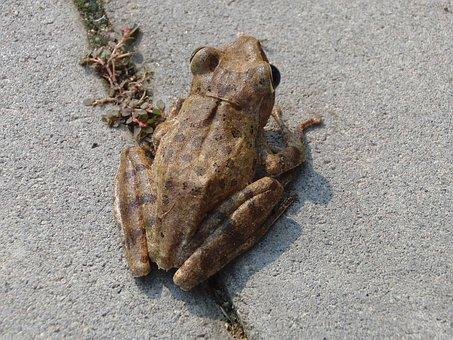 House Veslonogy, Polypedates Leucomystax, Frog