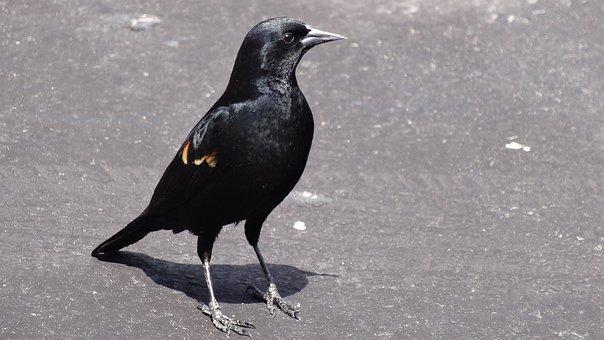 Black Bird, Red Shoulder Markings, Posing, Urban