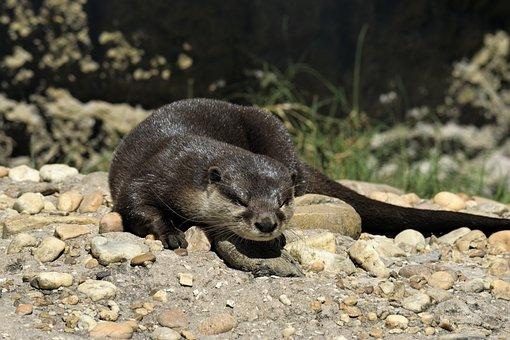 Sea Otter, Mammal, Wildlife, Animal, Otter, Marine, Sea