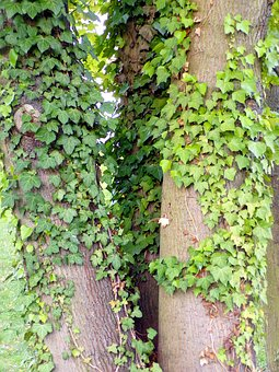 Tree, Spring, Nature, Plant, Ivy