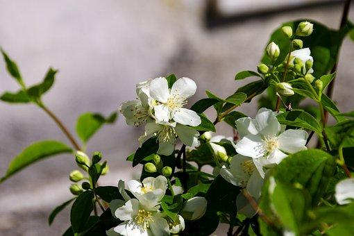 Flowers, Filadelfo, Spring, Shrub, Fiore D'angelo
