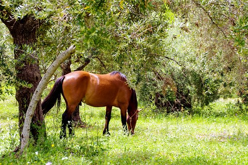 Horse, Stallion, Horses, Pollino National Park, Pasture