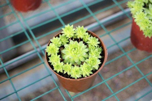 The Fleshy, Plant, Green