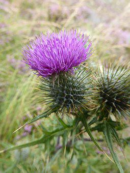 Scottish, Thistle, Flower, Flower Of Scotland, Green