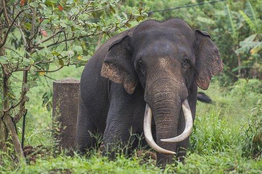 Elephant, Sri Lanka, Proboscis, Zoo, Tusks, Large