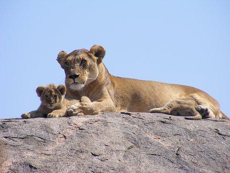 Lion, Cub, Safari, Lioness, Africa
