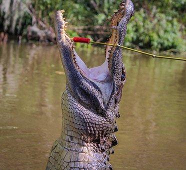 Alligator, American Alligator, Gator, Amphibian