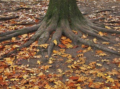 American Oak, Log, Tree Trunk And Leaves, Leaves