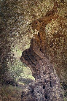Ancient, Tree, Olive, Israel, Jerusalem, Historical