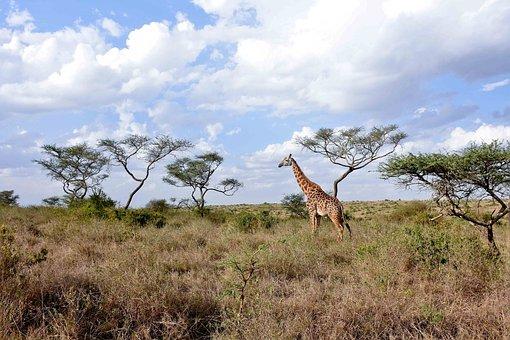 Giraffe, Savanna, National, Adventure, Animal, Wildlife
