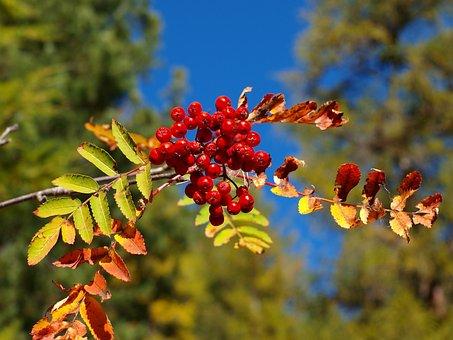 Plant, Berry, Swiss Alps, Rowan Tree, Branch, Autumn