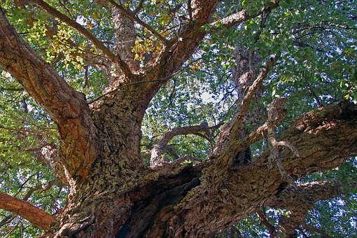 Oak, Cork, Quercus Suber, Evergreen, Tree, Trees, Bark