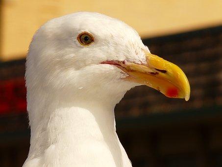 Seagull, Bird, Bill, Feather, Close Up, Animal