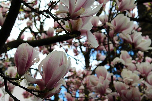 Magnolia Tree, Magnolia, Flowers, Pink, Blossom, Bloom