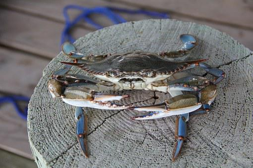 Blue Crab, Crab, Louisiana, Grand Isle, Pinchers, Claws