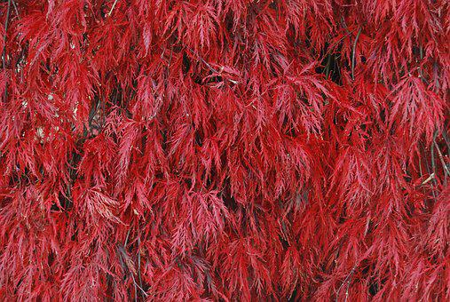 Red, Burgundy, Maroon, Colourful, Leaf, Leaves