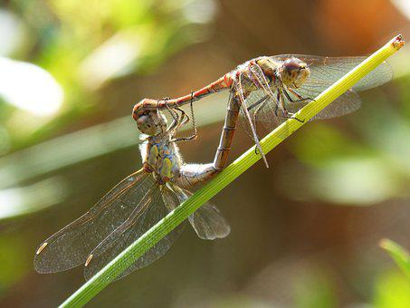 Dragonflies, Copulation, Dragonflies Mating