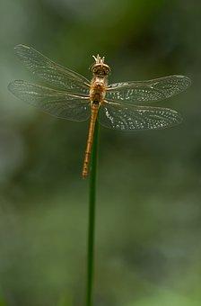 Sympetrum Striolatum, Dragonfly, Darter, Insect