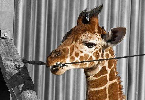 Giraffe, Expensive, Zoo, Odense, Denmark