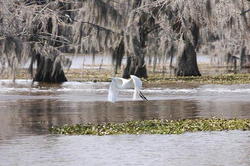 Bayou, Bird, Egret, Wildlife, Cypress, Nature